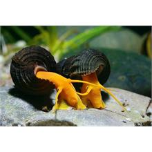 Poso Orange Rabbit Snail